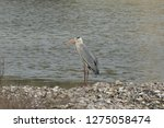gray heron reflected on the...   Shutterstock . vector #1275058474