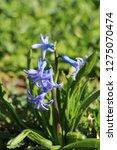 view on hyacinthus orientalis ...   Shutterstock . vector #1275070474