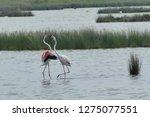 pink flamingos fighting in the...   Shutterstock . vector #1275077551