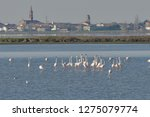 pink flamingos hunting for food ...   Shutterstock . vector #1275079774