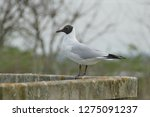 seagull leaning on a wooden...   Shutterstock . vector #1275091237