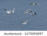 flock of seagulls following a... | Shutterstock . vector #1275093097