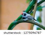 zebra finches on a branch. | Shutterstock . vector #1275096787