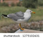 real seagull leaning on a...   Shutterstock . vector #1275102631