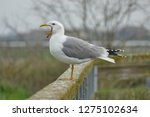real seagull leaning on a...   Shutterstock . vector #1275102634