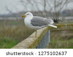 real seagull leaning on a...   Shutterstock . vector #1275102637