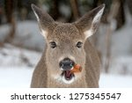 a single whitetail deer chewing ... | Shutterstock . vector #1275345547