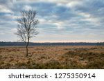 solitair birch tree on a cloudy ... | Shutterstock . vector #1275350914