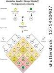 mendel genetics  gregor mendel  ... | Shutterstock .eps vector #1275410407