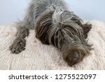 shaggy  dog on a pink poof. the ... | Shutterstock . vector #1275522097