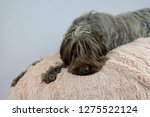 shaggy  dog on a pink poof. the ... | Shutterstock . vector #1275522124