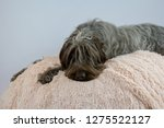 shaggy  dog on a pink poof. the ... | Shutterstock . vector #1275522127