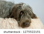 shaggy  dog on a pink poof. the ... | Shutterstock . vector #1275522151