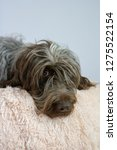 shaggy  dog on a pink poof. the ... | Shutterstock . vector #1275522154