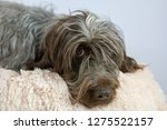 shaggy  dog on a pink poof. the ... | Shutterstock . vector #1275522157