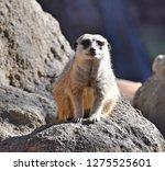 meerkat  suricata suricatta    Shutterstock . vector #1275525601