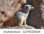 meerkat  suricata suricatta    Shutterstock . vector #1275525604