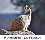 meerkat  suricata suricatta    Shutterstock . vector #1275525607