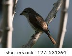 a picture of a shrike a small...   Shutterstock . vector #1275531364