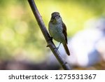 a picture of a shrike a small...   Shutterstock . vector #1275531367