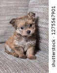 very small and hairy yorkshire... | Shutterstock . vector #1275567901