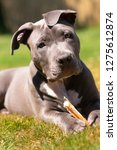 young pit pull pure bred canine ... | Shutterstock . vector #1275612874