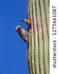 gila woodpecker  melanerpes... | Shutterstock . vector #1275661087