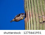 gila woodpecker  melanerpes... | Shutterstock . vector #1275661951