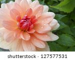 Dahlia With Water Drops. This...