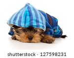 Stock photo yorkshire terrier puppy in clothes 127598231
