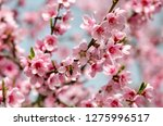 beautiful peach blossom | Shutterstock . vector #1275996517
