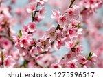 beautiful peach blossom | Shutterstock . vector #1275996517