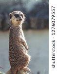 suricata watching  funny meerkat   Shutterstock . vector #1276079557