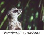 suricata watching  funny meerkat   Shutterstock . vector #1276079581