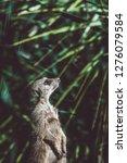 suricata watching  funny meerkat   Shutterstock . vector #1276079584