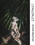 suricata watching  funny meerkat   Shutterstock . vector #1276079617