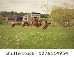 chickens in a farmers pasture   Shutterstock . vector #1276114954