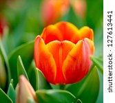Tulip Flowers In The Garden.