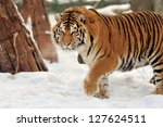 Beautiful Wild Siberian Tiger...
