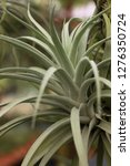 Tillandsia Harrisii Species Of...