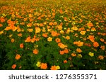 the yellow and orange cosmos... | Shutterstock . vector #1276355371