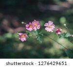 anemone hupehensis var.... | Shutterstock . vector #1276429651