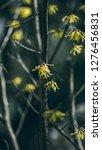 hamamelis mollis  also known as ...   Shutterstock . vector #1276456831