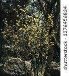 hamamelis mollis  also known as ...   Shutterstock . vector #1276456834