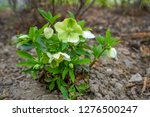 hellebore  commonly known as... | Shutterstock . vector #1276500247