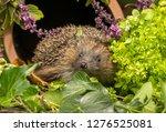 hedgehog   erinaceus europaeus  ... | Shutterstock . vector #1276525081
