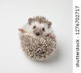 adorable grey hedgehog with...   Shutterstock . vector #1276702717