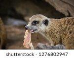 the meerkat or suricate ...   Shutterstock . vector #1276802947