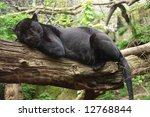 Sleeping Black Jaguar  ...