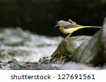 Grey Wagtail On Rock In Stream